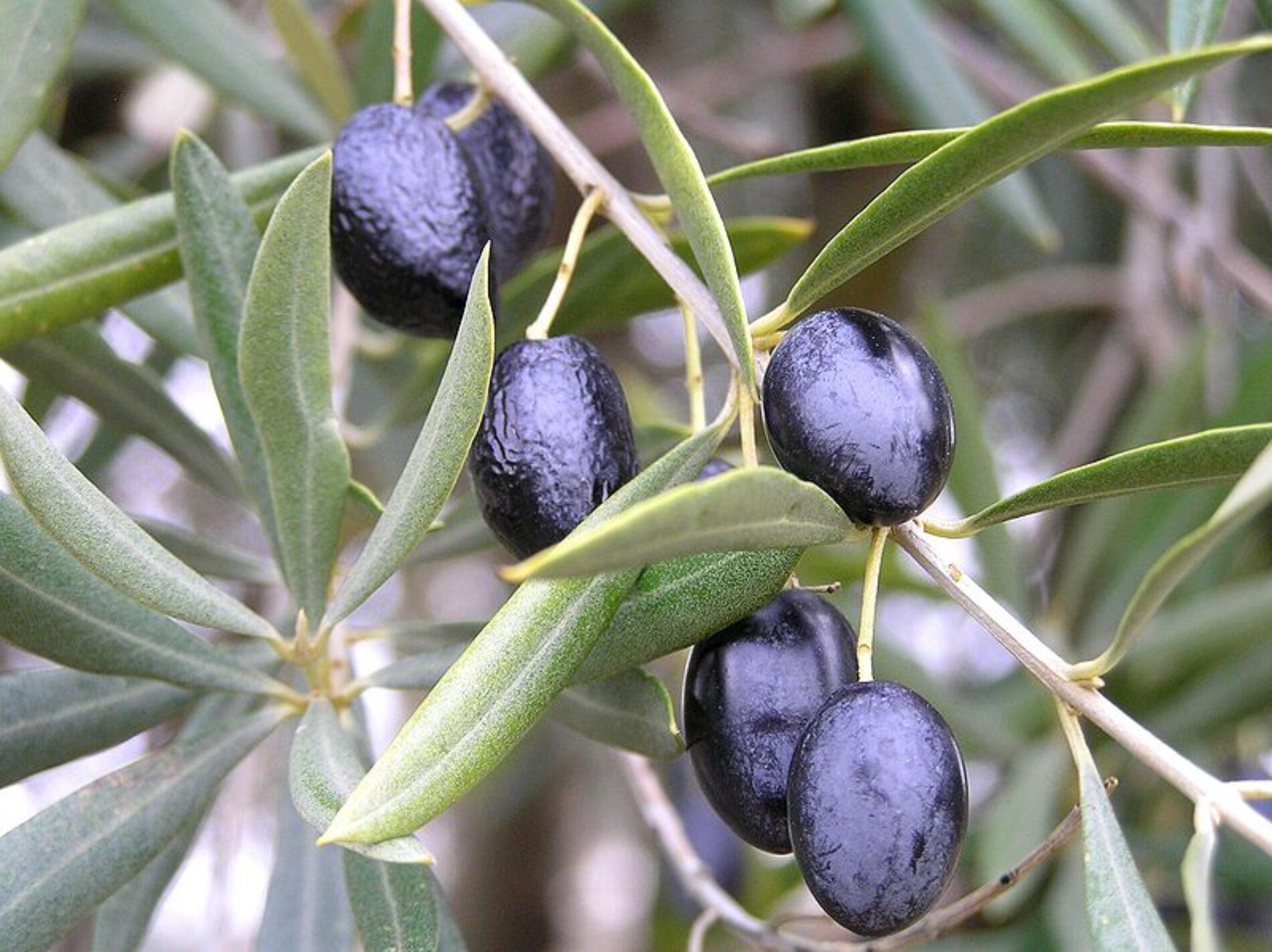 Φυσική παρασκευή μαύρης ελιάς