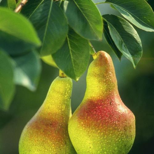 Ένας κινέζος αγρότης είχε την ιδέα να καλλιεργήσει αχλάδια σε σχήμα ανθρώπου!! (εικόνες)