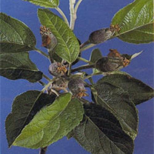 Καλλιεργητικές φροντίδες για πεδινά Μήλα και Αχλάδια Μάιος