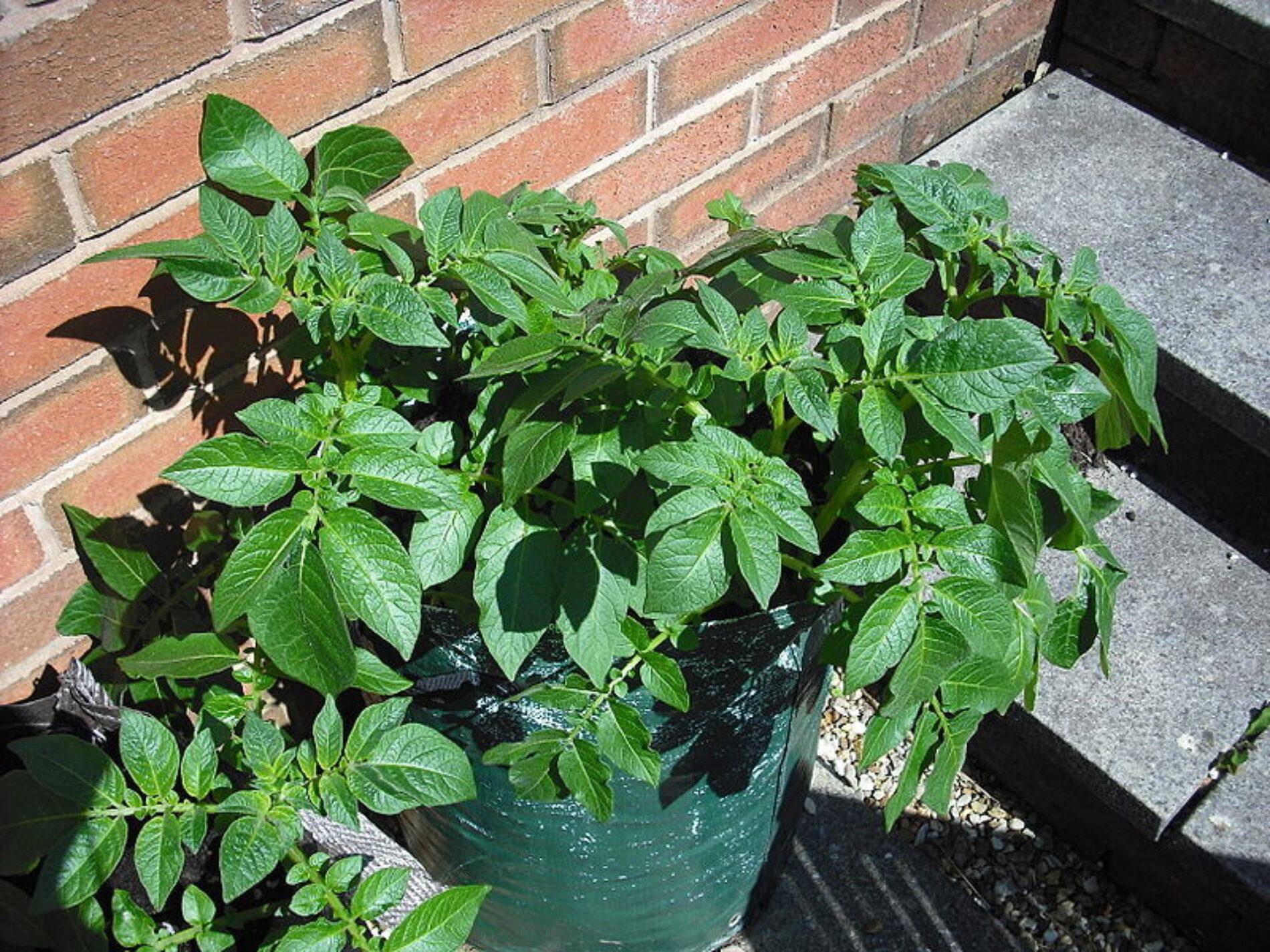 Πως να καλλιεργήσετε πατάτες στο μπαλκόνι