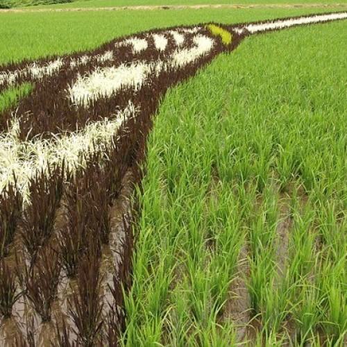 Καλλιέργεια ρυζιού στην Ιαπωνία (εικόνες)