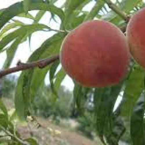 Καρποφόρα Δέντρα – Καλλιεργητικές φροντίδες τον χειμώνα