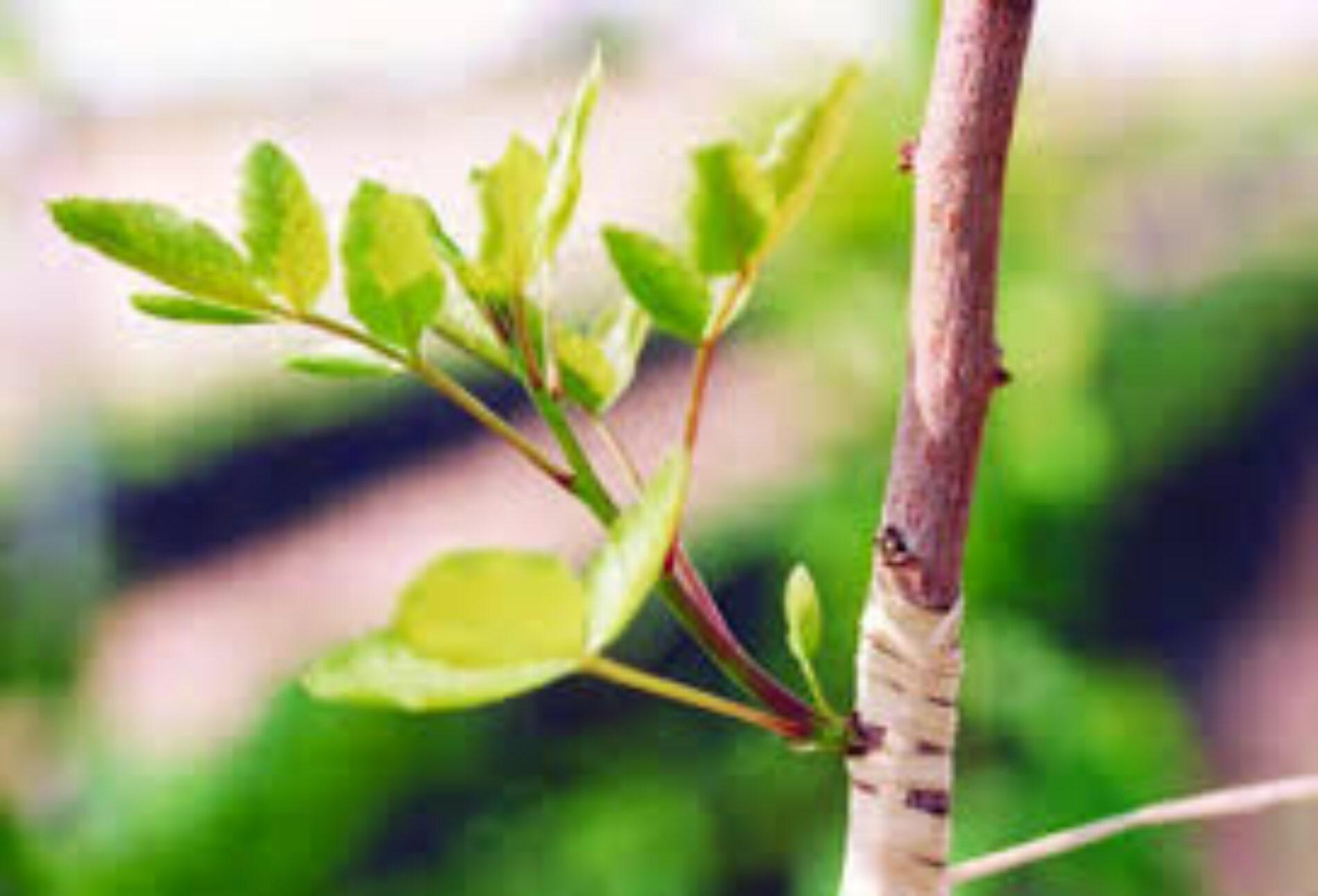 Ο Εμβολιασμός των Καρποφόρων Δέντρων