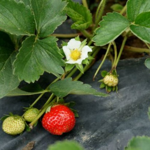 Καλλιέργεια Φράουλας σε Υδροπονία (2 videos)