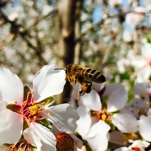 Η θυμόλη και πώς χρησιμοποιείται στη βιολογική μελισσοκομία