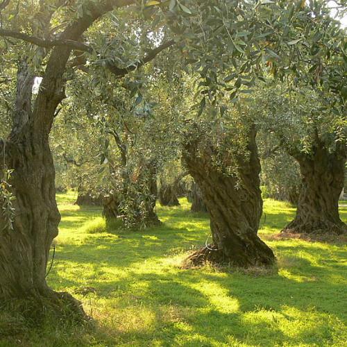 Πρoστατευμένο: Μυκόρριζες και Ελιές – Για πλήρη πρόσβαση επικοινωνήστε με το cfn@cfn.gr