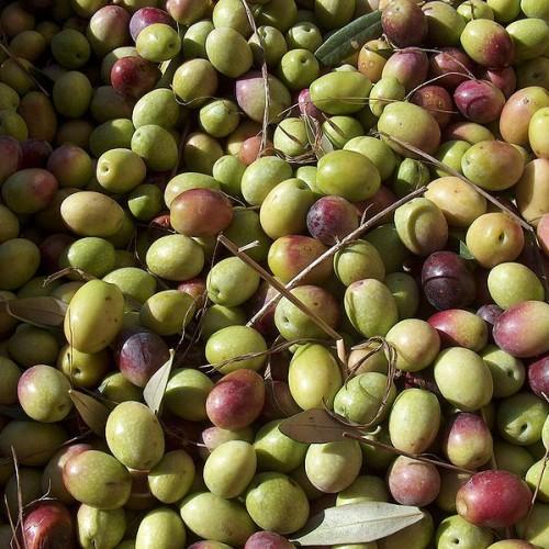 Χρήσιμες οδηγίες για την καλλιέργεια επιτραπέζιας –  βρώσιμης ελιάς