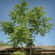 «Βρωμόδεντρα», τα αυθαίρετα του φυτικού βασιλείου