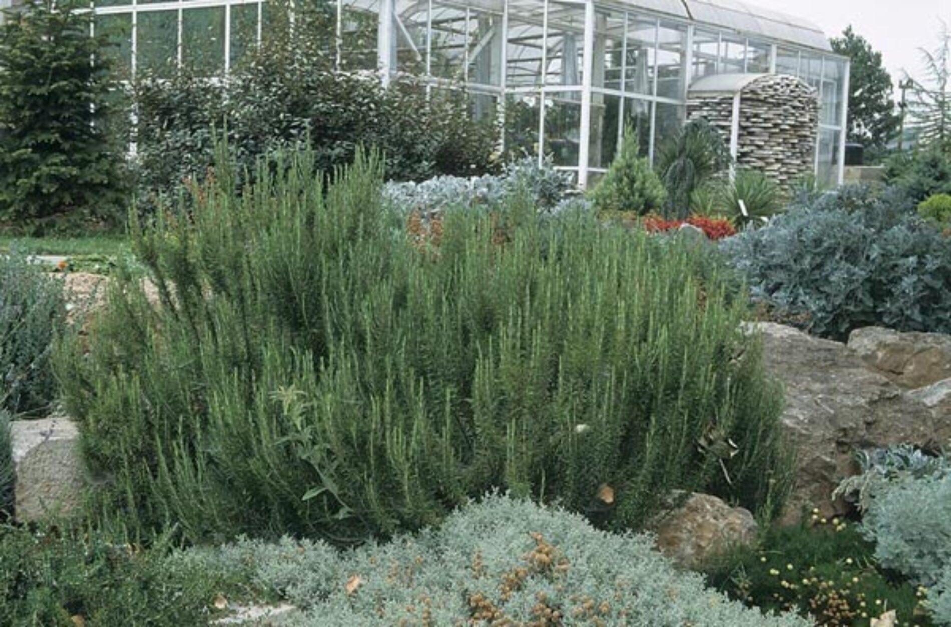 Αρωματικά Φυτά: Καλλιεργώντας Δενδρολίβανο