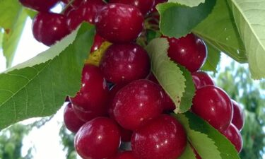 Πρoστατευμένο: Επικαιροποιημένο εγχειρίδιο καλλιέργειας κερασιάς – Για πλήρη πρόσβαση επικοινωνήστε με το cfn@cfn.gr