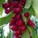 Ημερίδα : Η Κερασοκαλλιέργεια Σήμερα (Μονόκλωνο Σύστημα Διαμόρφωσης)–Καινοτόμες Καλλιέργειες Οποροφόρων