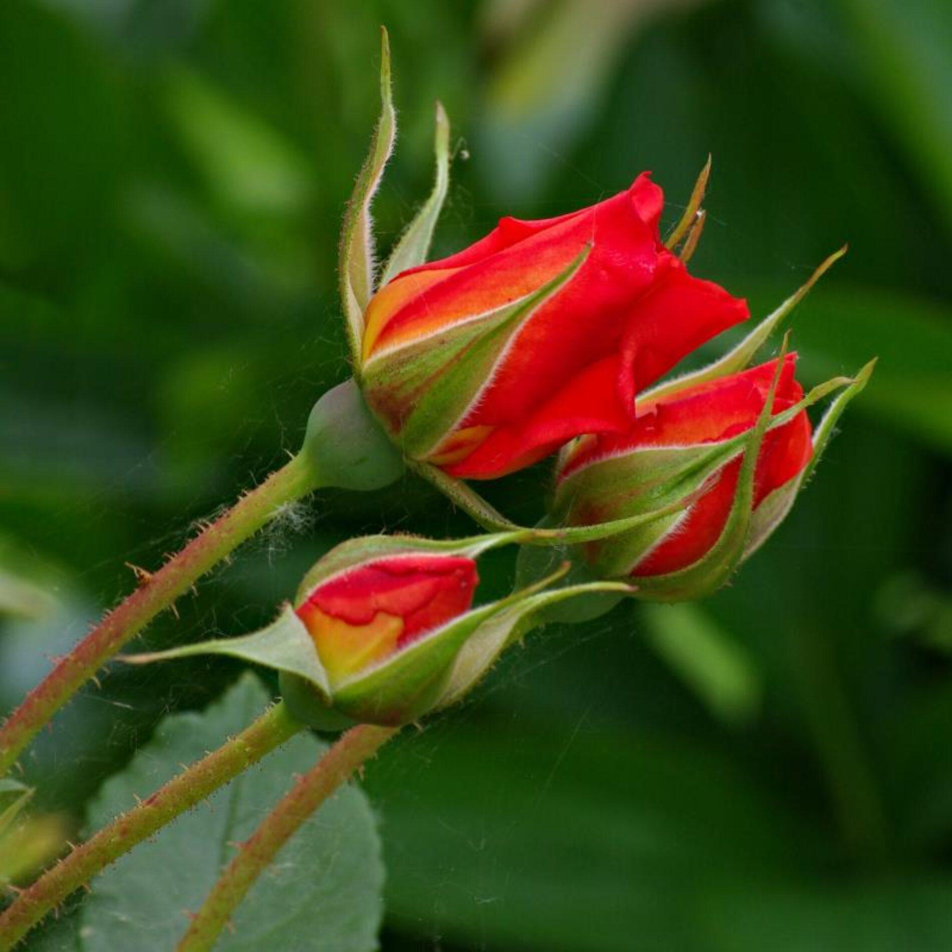 Συντήρηση Τριαντάφυλλων στο Βάζο (Video)